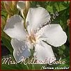 Nerium oleander Mrs. Willard Cooke